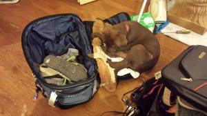 Beau trying to go on my trip
